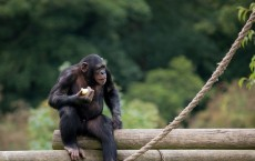 Extinct Ancient Apes Did Not Walk on Two Legs Like Humans, Study