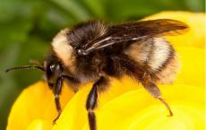 'Bombus occidentalis' -Rare Bumble Bee
