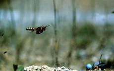 Ground-Nesting Wasp