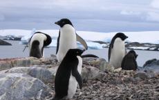 Adelie Penguins