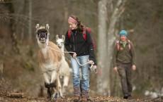 Vacationers Trek With Lamas In German Alps