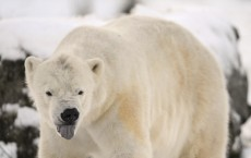 Polar Bears Arriving on Land Early Due To Climate Change