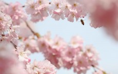 Bees Pollinate Blossom In Central London