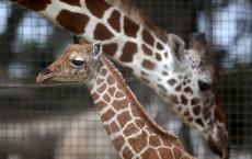 Baby Giraffe Born At San Francisco Zoo