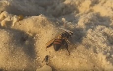 Dead Bees Washed Up On Naples Beach