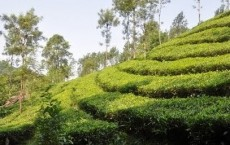 Genetic Basis Of Tea Tree Plants' Flavors Revealed