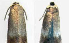 Male Specimens, Stigmella multispicata