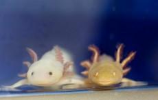 Axolotls at the Marine Biological Laboratory, Woods Hole (IMAGE)