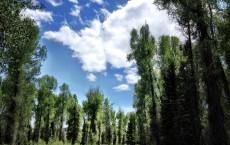 Narrowleaf Cottonwood Trees (IMAGE)
