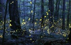 Synchronized Fireflies (IMAGE)