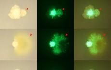 Bacillus Bacteria (IMAGE)