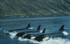 Family Crucial to Orca Survival (IMAGE)