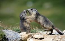 Playing Marmots (IMAGE)