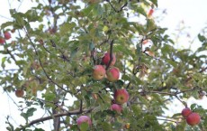 Tien Shan Wild Apples (IMAGE)