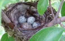 Songbird Nest