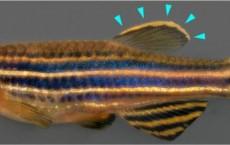 Zebrafish (IMAGE)