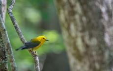 Prothonotary Warbler (IMAGE)