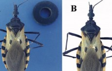 Is this Triatomine Bug a Public-Health Danger? (IMAGE)