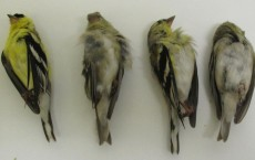 Goldfinches Collected from Modesto, Calif. (IMAGE)