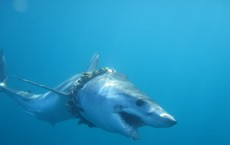 A Shark Entangled in Fishing Rope (IMAGE)