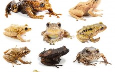 The New Species of Rain Frogs (IMAGE)