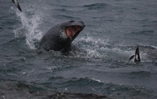 Leopard Seals (IMAGE)