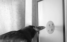 Counting Crow