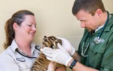 Three Endangered Malayan Tiger Cubs Born at the Busch Garden Tampa