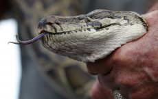 150,000 Pythons  in Everglades of Florida Should Not Put Off Visitors, Say Park Officials