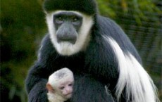 Second Colobus Monkey Born at stone Zoo in Two Months